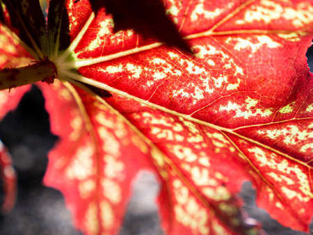Back of Bright Red Begonia Leaf Growing