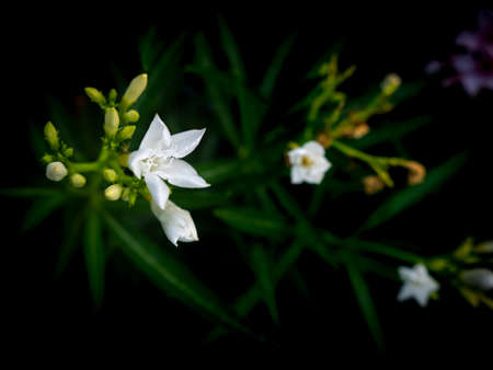 The White Oleander Flower Blooming in The Dark Background