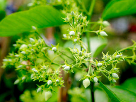 The Bunch of Genus Hibiscus Buds Blooming in The Garden