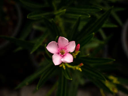 The Light Pink Rose Bay Blooming on The Center of Frame in The Dark Blackground Imagens