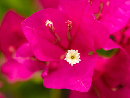 The White Pollen on The Pink Bougainvillea Flower Blooming in The Garden
