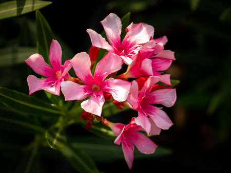 The Bunch of Pink Oleander Flowers Blooming in The Field Imagens