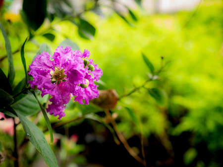 The Bunch of Crape Myrtle Flowers Blooming in The Field Imagens