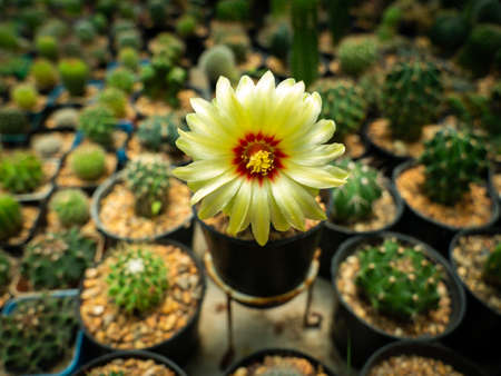 The Yellow Cactus Flower Blooming in The Cactus Shop