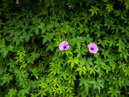 The Purple Relic Tuberosa Flowers Blooming in The Green Climbing Plant
