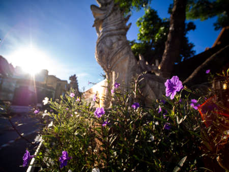 The Purple Relic Tuberosa Flowers Blooming behind The Lion Statue and The Sun