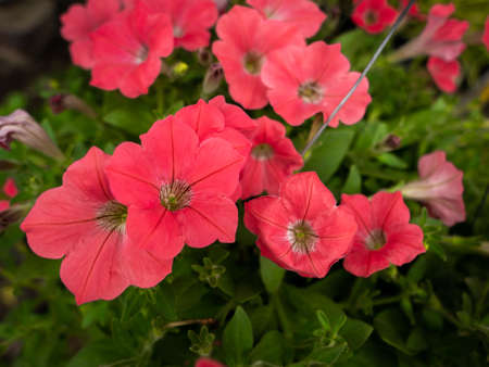 The Old Pink Petunia Flowers hanging in a Row