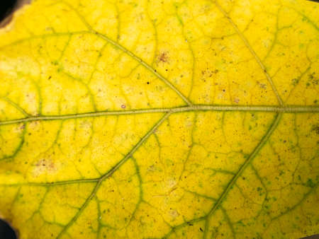 The Old Yellow Elephant Creeper Leaf in The Garden Foto de archivo