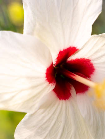 The White Hibiscus FlowPer Blooming in The Park , Side View