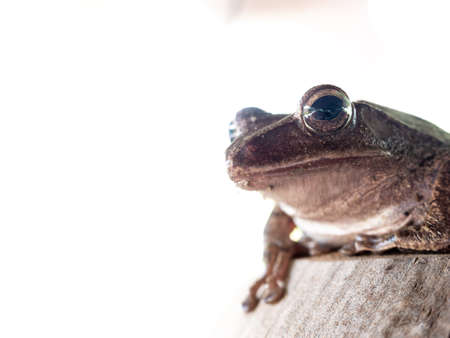 The Golden Tree Frog Sitting on The Coconut in The Garden , White Background Foto de archivo