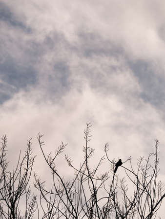 The Lonely Silhouette Pigeon Perched on The Branch behind The Sky Foto de archivo