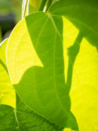 The Abstract of Peper Tree Leaf and The Shadow behind The Sun Light Foto de archivo