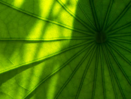 The Abstract of The Branch Lines of The Lotus Leaf with The Shadow