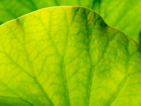 The Abstract of The Branch Lines of The Lotus Leaf in The Pond Foto de archivo