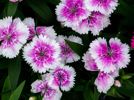 The White Pink Dianthus Flowers Blooming in The Park