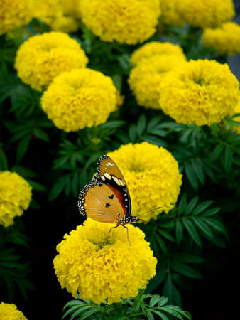 The Yellow Butterfly Standing on The Yellow Flower in The Park