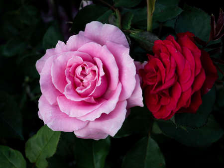 The Pink and Red Roses Flowers Blooming in The Dark Background