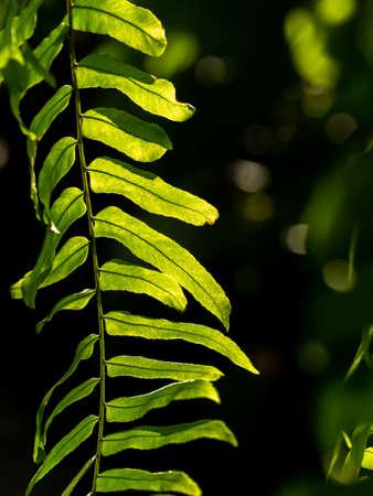Holttum's Staghorn-Fern Hanging behind The Sun Light