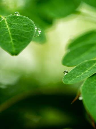 The Rain Drops on The Horseradish Tree Leaves in The Rainy Day