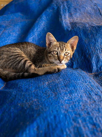 The Tabby Kitten Stared at The Camera on The Blue Mat
