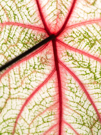The Abstract of Pattern on The Fancy leaved Caladium Growing in The Park Foto de archivo