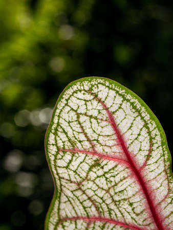 The Back of Pattern on The Fancy leaved Caladium Growing in The Park