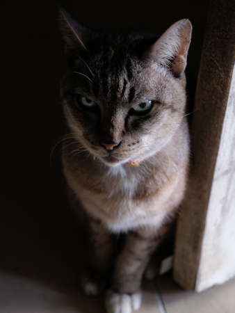 The Gray Cat with Blue Eyes Sitting Staring in front of a Dark Back Door