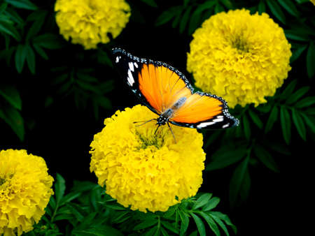The Yellow Butterfly Sucking Nectar on The Yellow Flower in The Park
