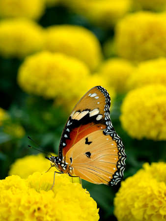 The Yellow Butterfly Moving The Wings on The Yellow Flower in The Park