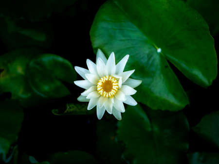 The White Lotus Blooming on Center in The Dark Pool