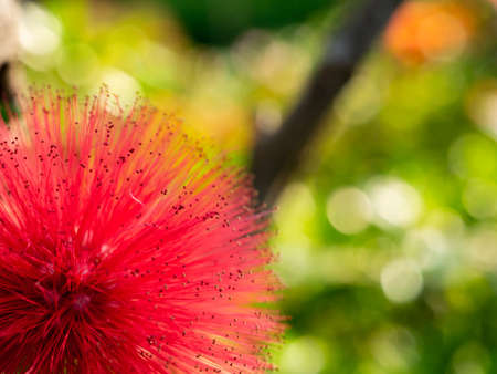 The Red Pollen of Pink Red Powderpuff Blooming in The Garden