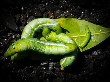 The Caterpillars Crawling on The Leaves in The Wet Floor Foto de archivo