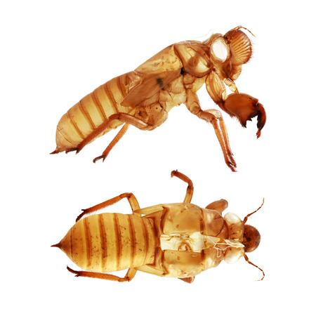 cast off: Cicada Husk isolated on white background