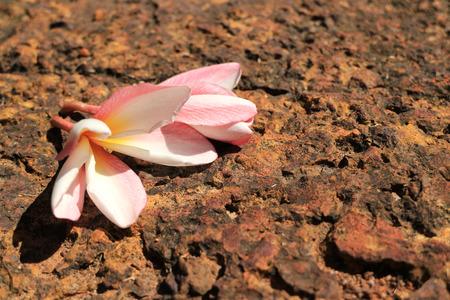 Fresh Flower Shriveling on Hot Volcanic Stone Stock Photo