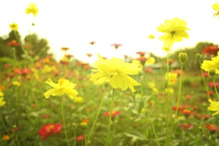 노란 유황 코스모스 꽃 태양 플레어 빛