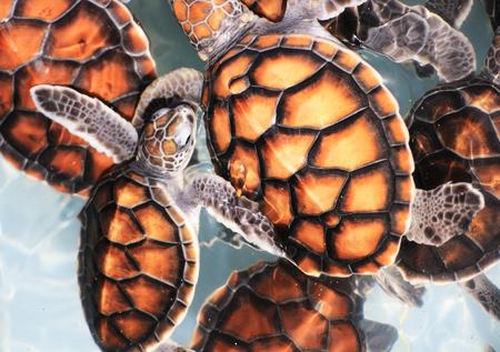종묘장에있는 아기 Hawksbill 바다 거북 스톡 콘텐츠