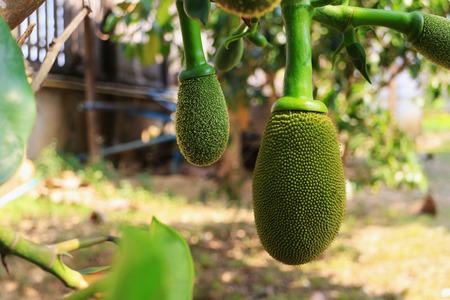 Young Jackfruit 스톡 콘텐츠