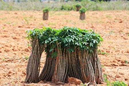카사바 타피오카 스틱 농장에 대한 준비가 지상에 스톡 콘텐츠 - 99729890