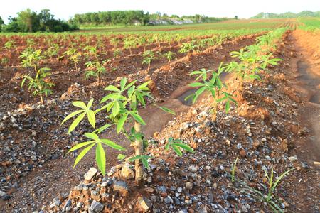 Young Cassava Tapioca Field Red Soil 스톡 콘텐츠