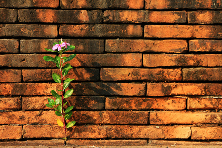Catharanthus roseus grow up between Red Bricks Hope and Brave Concept