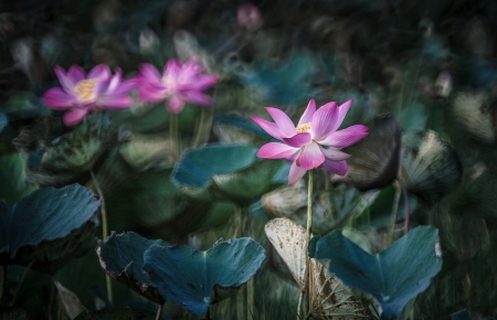 Pink lotus in full bloom photo
