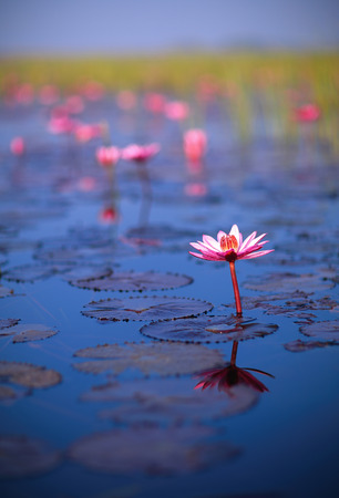 nympha: A gigantic field of Pink lotus in full boom in kumphawapi reservoirs Stock Photo
