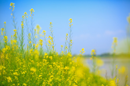 khong river: A filed of Canola  Bok Choy or Chinese cabbage  on Mae Khong river side with blue sky in the background