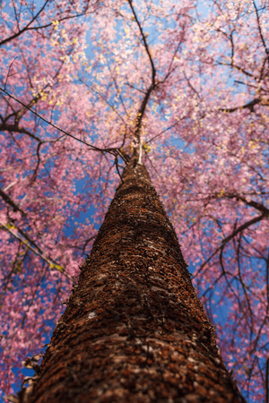 A full blooming cherry tree was photographed fromvery low angle on a clear blue sky day  photo