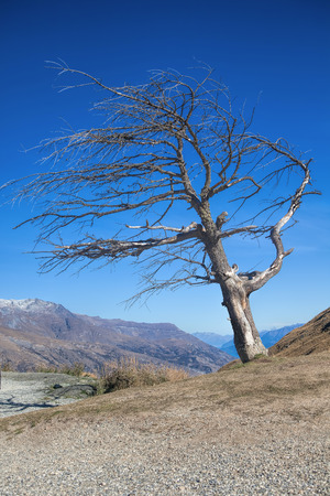Leafless tree at Crown range road , the highest road in New zealand photo