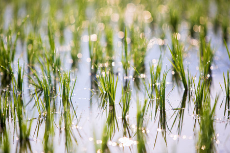 Rice sprouts in paddy field with selective focus backlit with morning sunlight photo