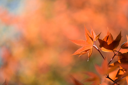 backlit: Colorful maple leafs backlit against the color of Autumn forest background