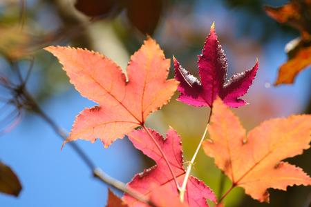 iluminado a contraluz: Las hojas de arce de colores con retroiluminación contra el cielo azul.