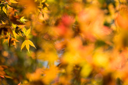 iluminado a contraluz: Colorful maple leafs backlit against the color of Autumn forest background