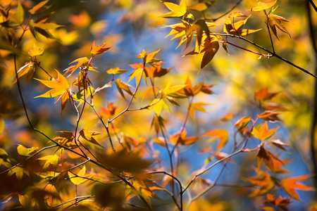 iluminado a contraluz: Colorful maple leafs backlit against blue sky taken at Phu hin Rong kla national park Thailand